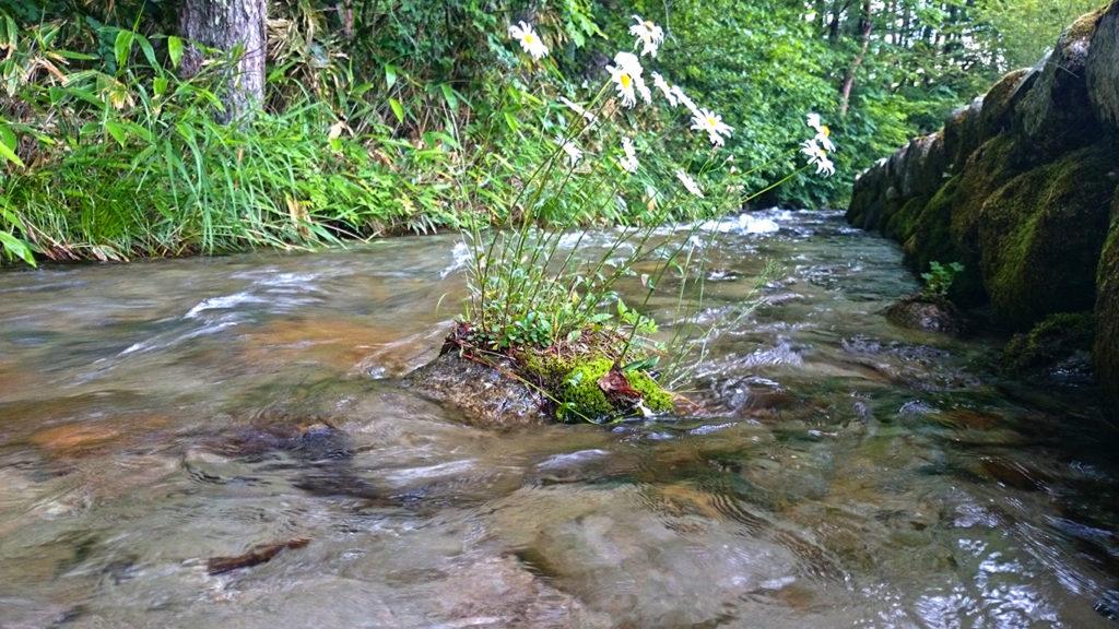 油川の流れの中に咲くフランスギクの花