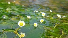 咲き始めた梅花藻の花