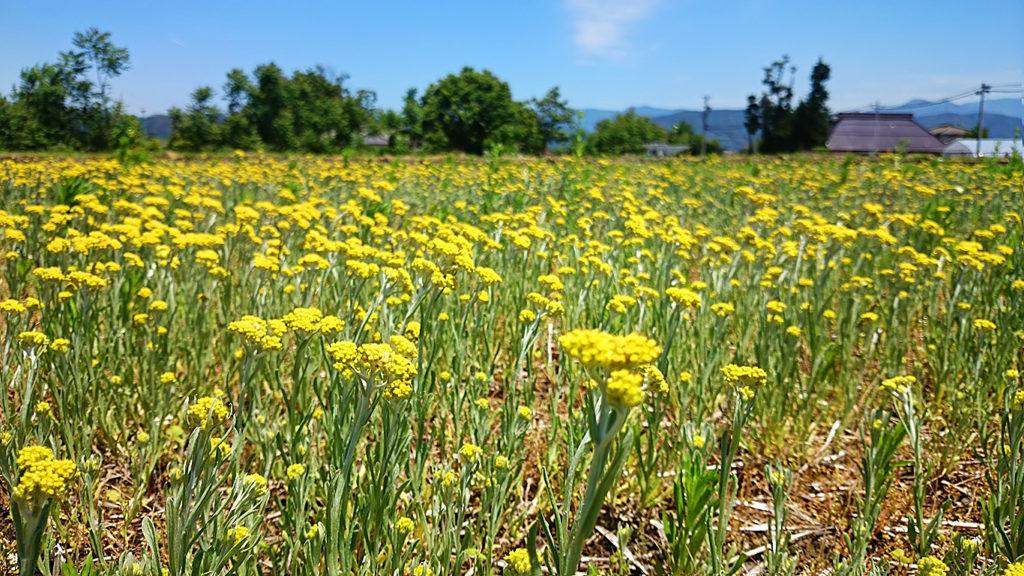 休耕田一面に咲くハハコグサ