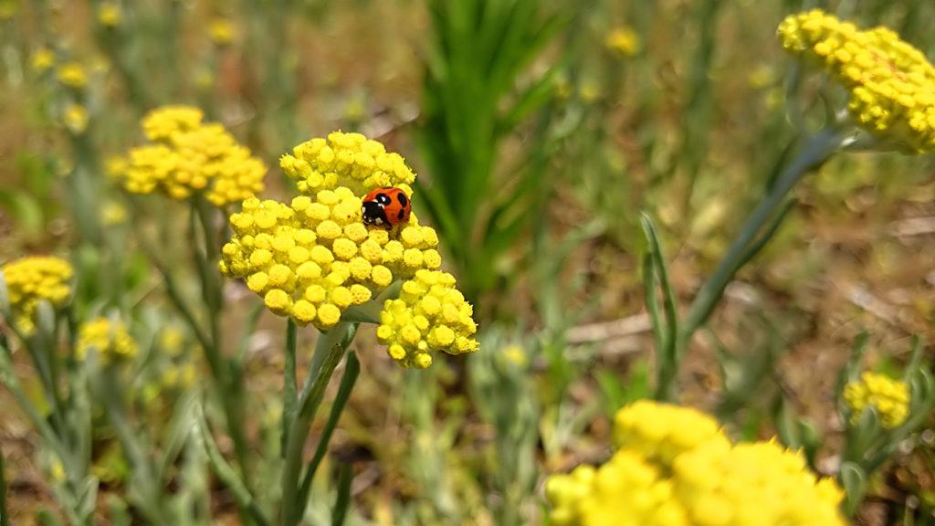 ハハコグサの花とテントウムシ