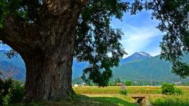 柳の大木の間から常念岳を