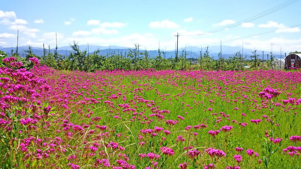 コマチソウのお花畑
