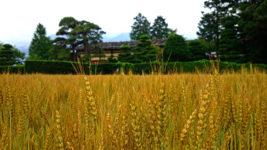 小麦畑の麦秋