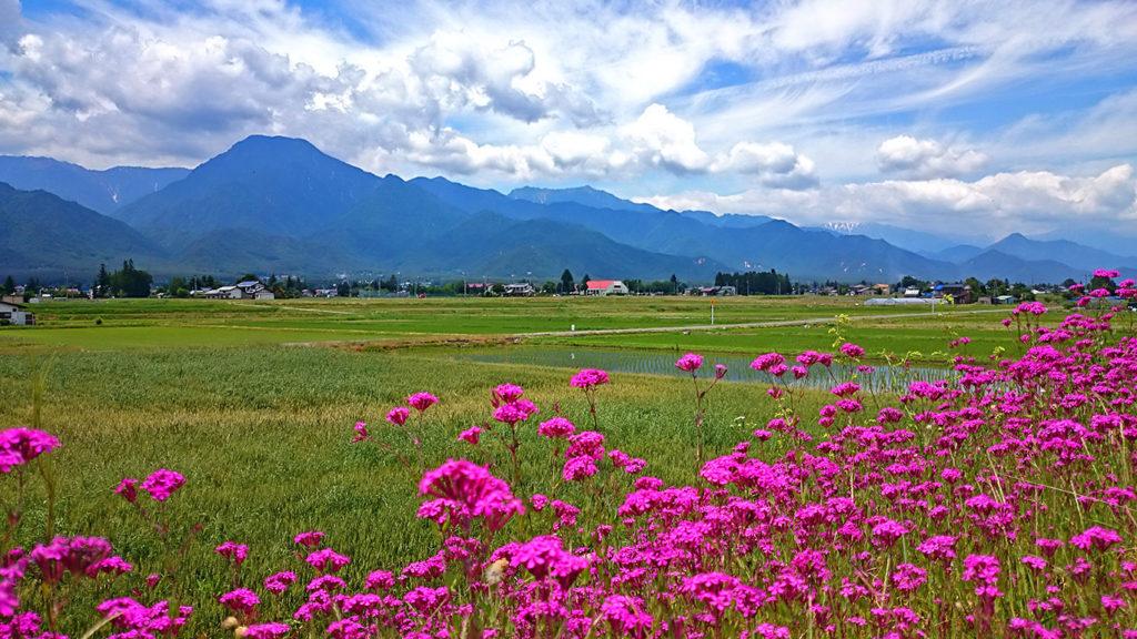コマチソウが咲き誇る土手と有明山