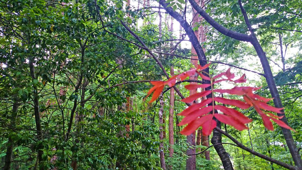 夏前に色づいたナナカマドの葉