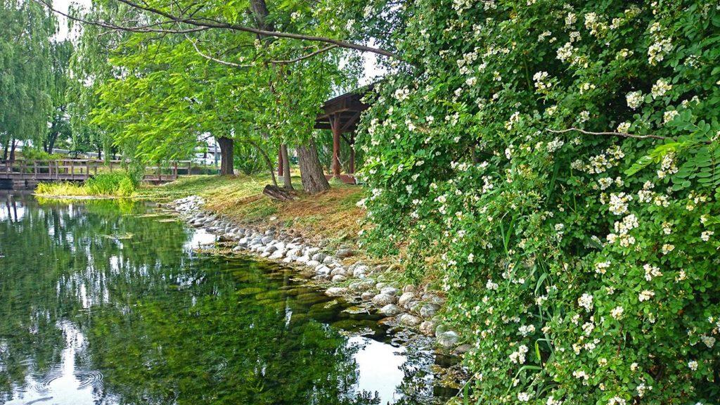 安曇野湧水群公園のノイバラの花