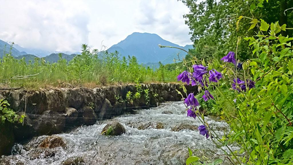 川べりに咲くオダマキ