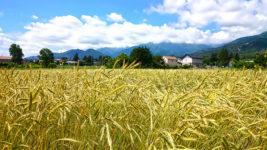 色付き始めたライ麦畑
