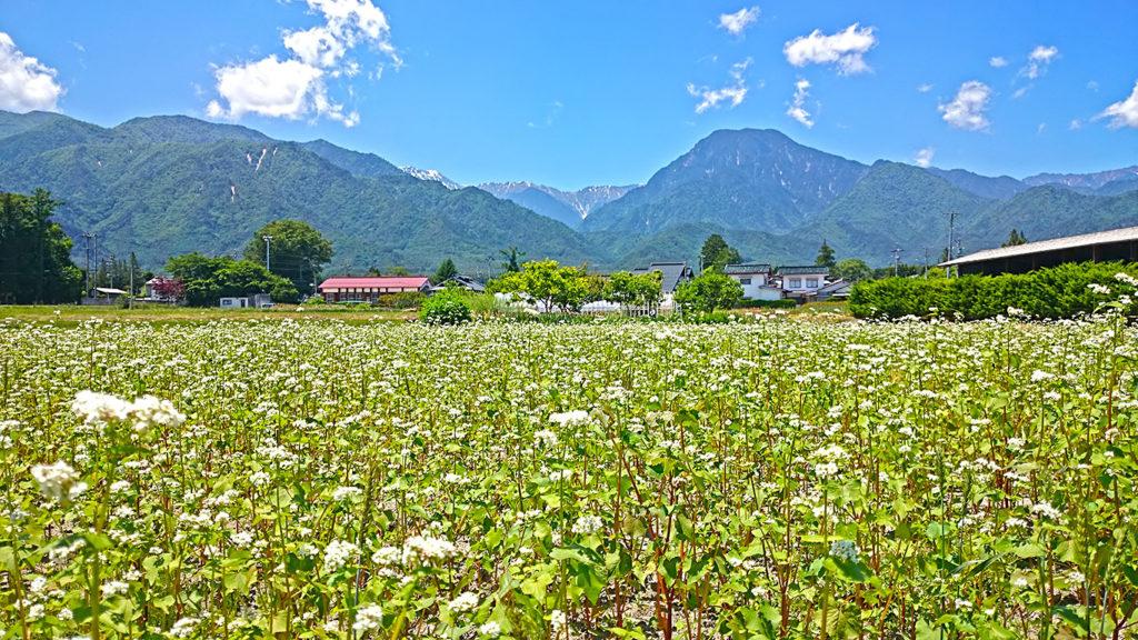 新屋公民館付近の蕎麦畑と有明山