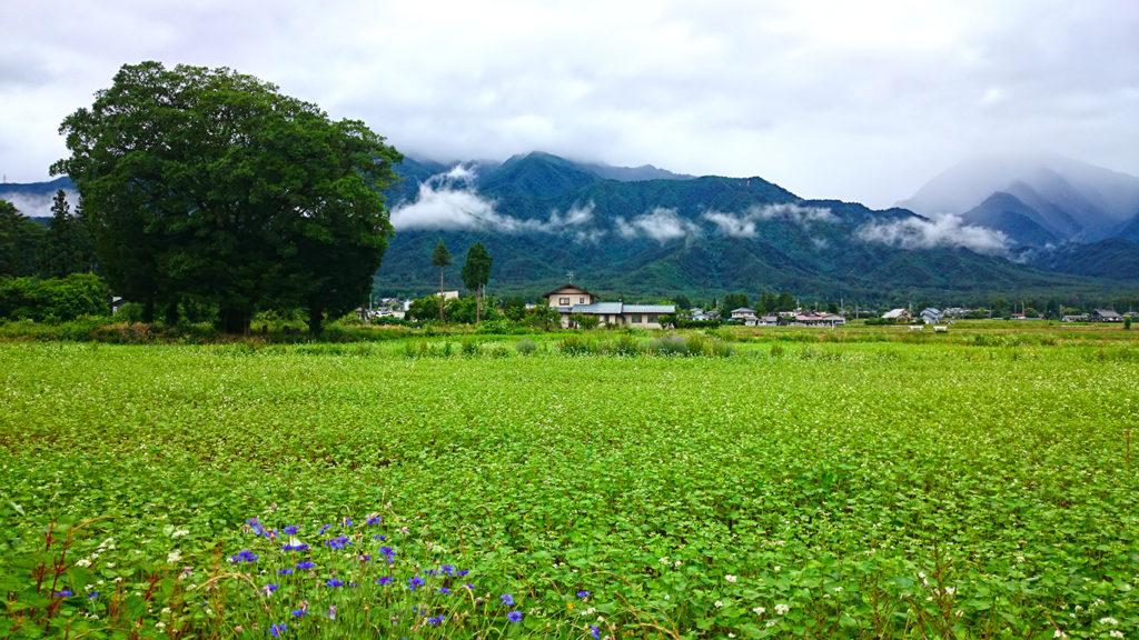 雨に濡れて緑が映える蕎麦畑と雲がかかった山