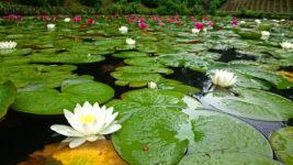 室山池の睡蓮の白い花