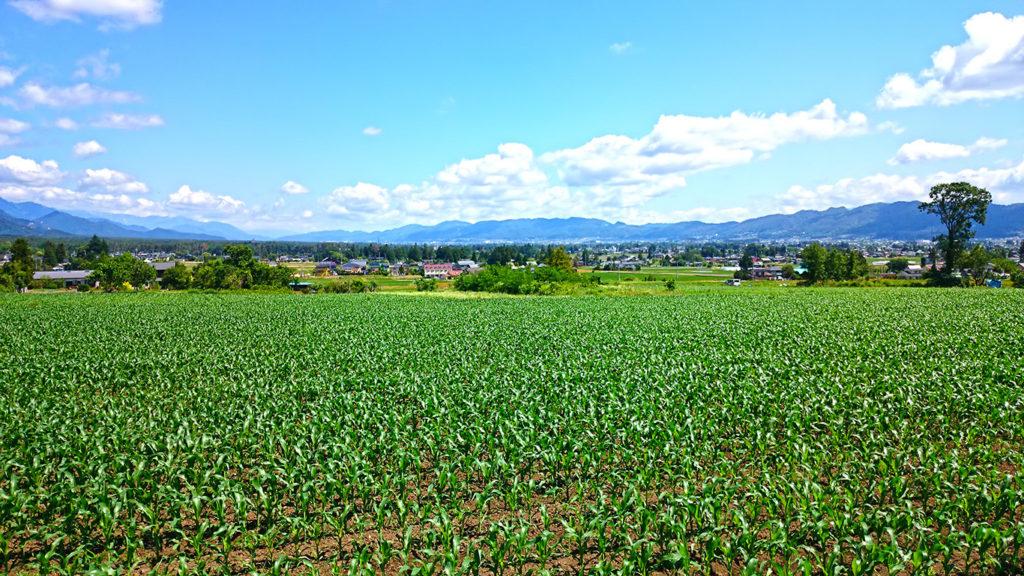 豊里界隈のトウモロコシ畑