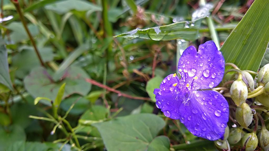 雨に濡れるムラサキツユクサの花