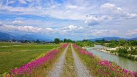 コマチソウが咲く穂高川沿いの轍の風景