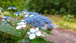 雨に濡れるヤマアジサイの花