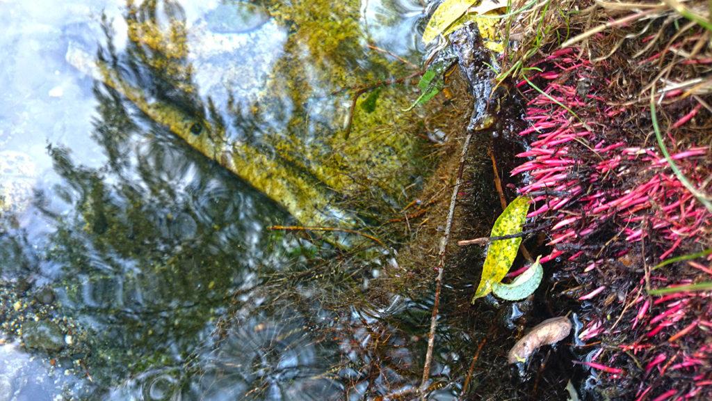 出始めた安曇野わさび田湧水群公園名物のショッキングピンクの柳の根