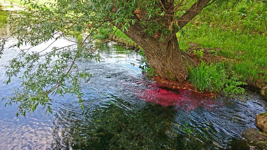 安曇野わさび田湧水群公園名物ショッキングピンクの柳の根
