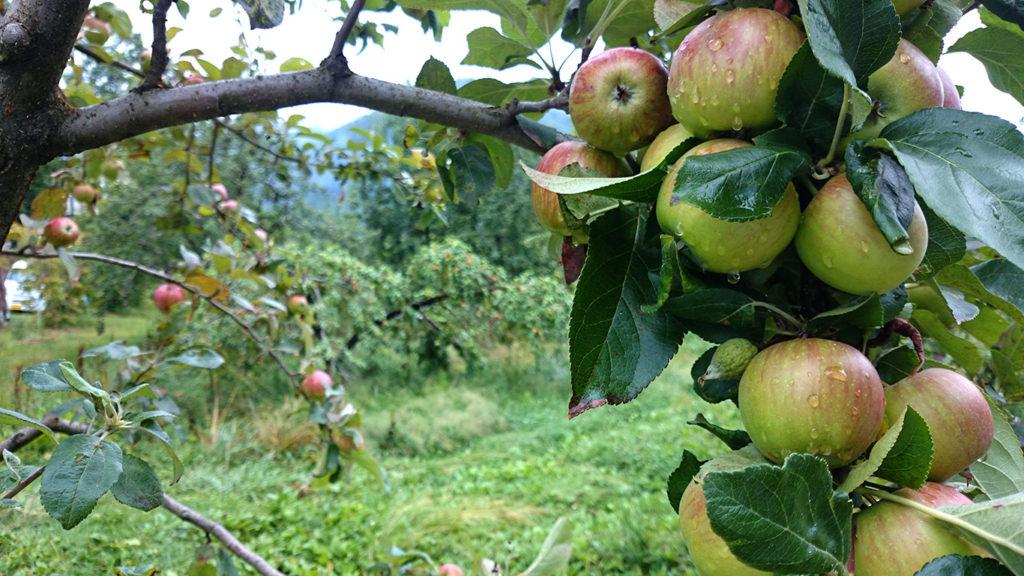 プラム大になったリンゴの実