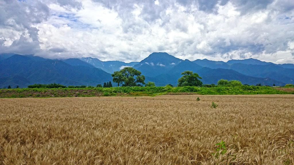 まだ刈り取られていない小麦畑と有明山