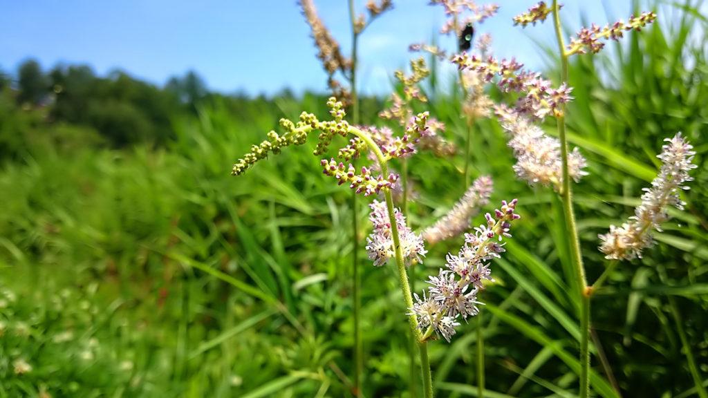夏の野に咲くチダケサシ