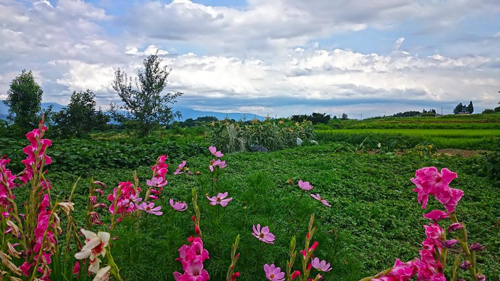 畑の脇に咲くグラジオラス