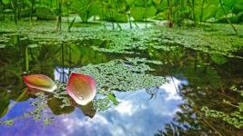 浮草と一緒に浮くハスの花びら