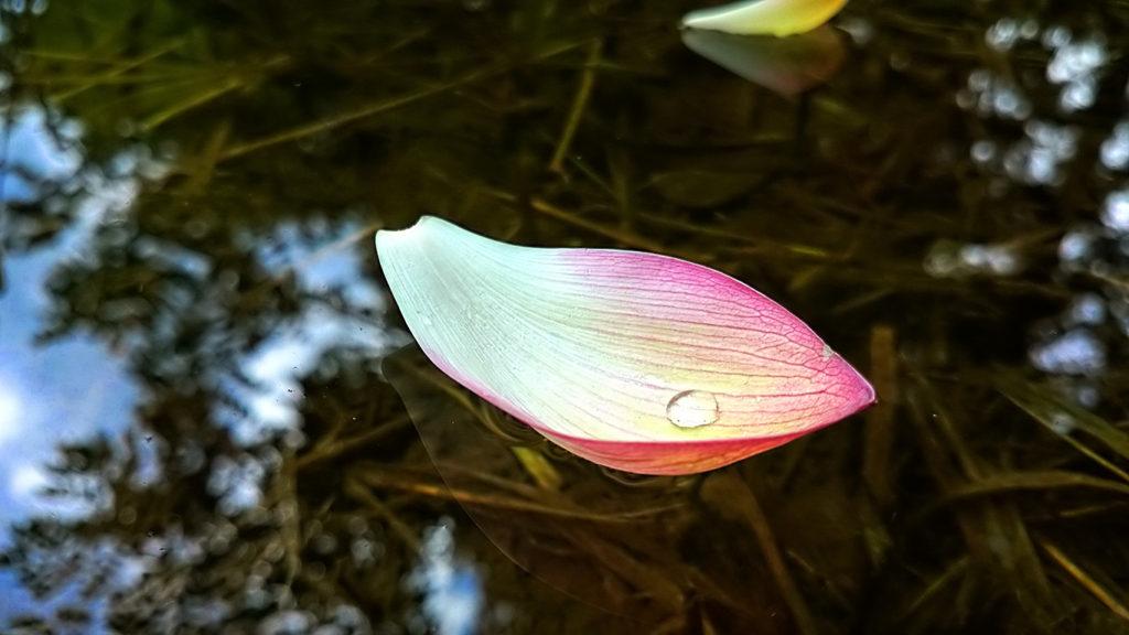 水面に浮くハスの花びらと水滴