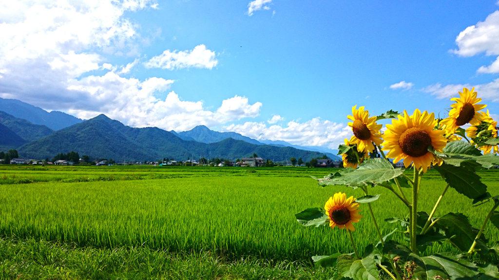 向日葵と田んぼ