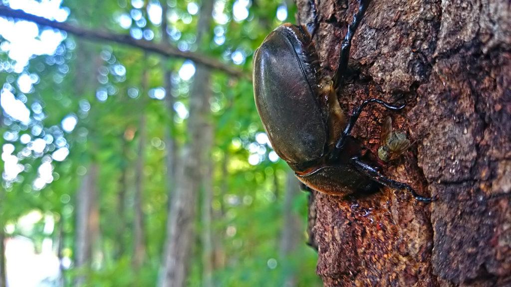 樹液を吸うカブトムシ
