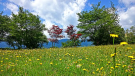 かじかの里公園のブタナのお花畑