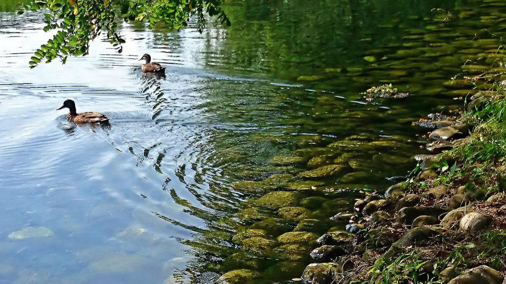 水面に波紋を描きながら涼し気に泳ぐカモ