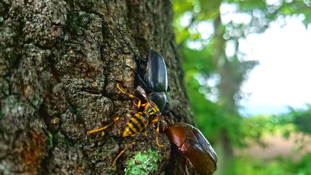 クヌギの木の上のノコギリクワガタのメス、カナブン、アシナガバチ