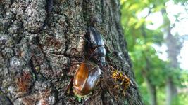 ノコギリクワガタのメスに小突かれ威嚇されるアシナガバチ