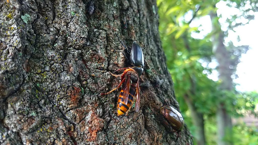 カナブンとアシナガバチを追放したコガタスズメバチ