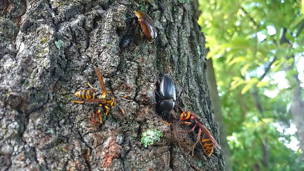 ノコギリクワガタのメスとコガタスズメバチに樹液を占領され、周囲で待機するカナブンとアシナガバチ