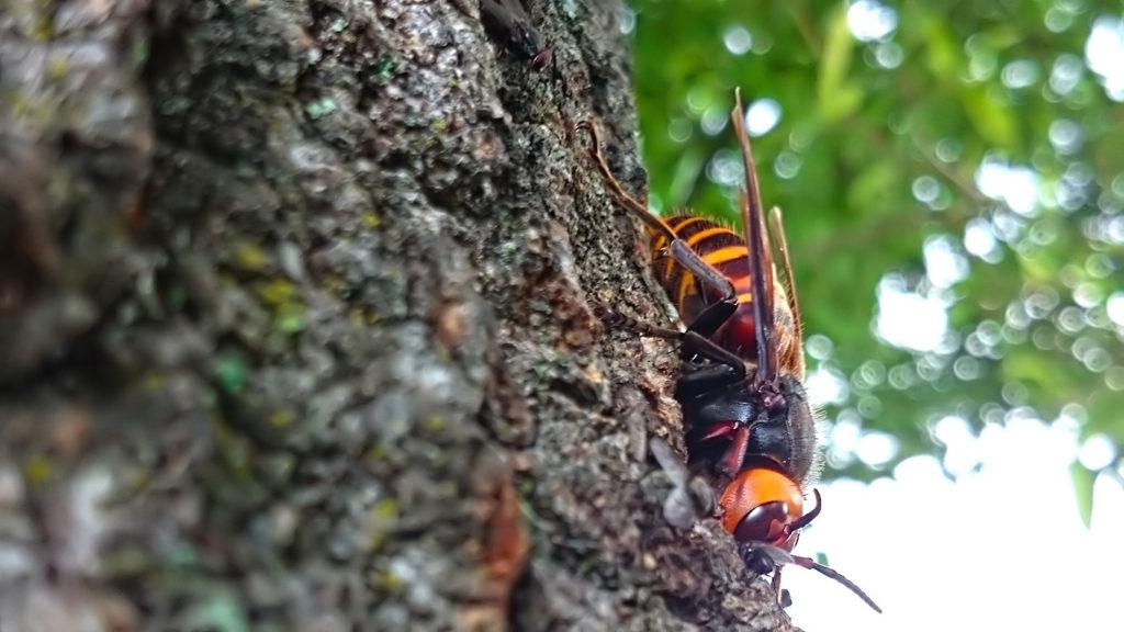 クヌギの木の上で樹液をすするオオスズメバチ
