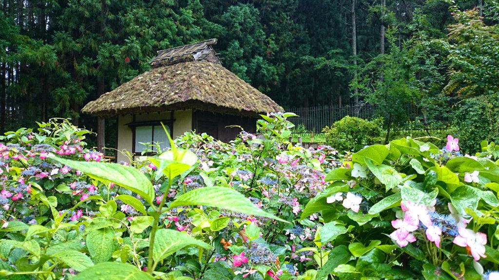 松尾寺の水車小屋と雨に濡れるアジサイ
