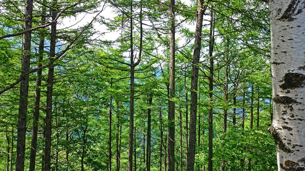 三郷スカイライン展望台からのカラマツ林と白樺