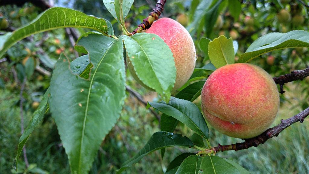 プラム大になった桃の実