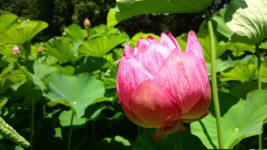 咲き始めた青原寺の蓮の花