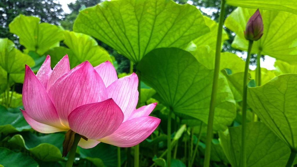 青原寺の雨に濡れるハスの花