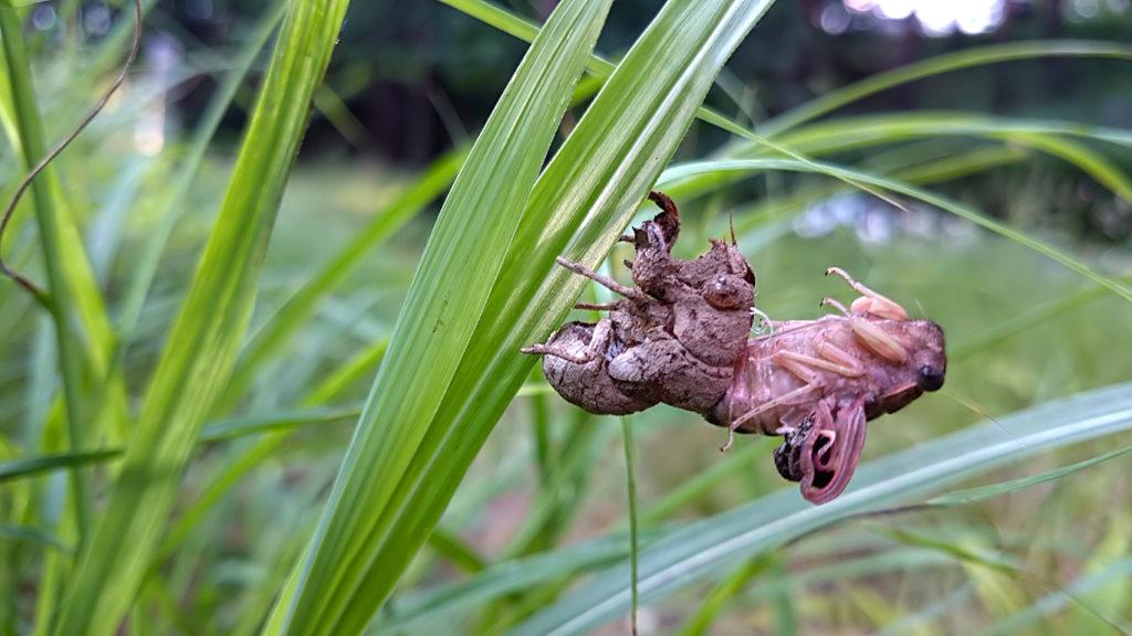 羽化中の蝉