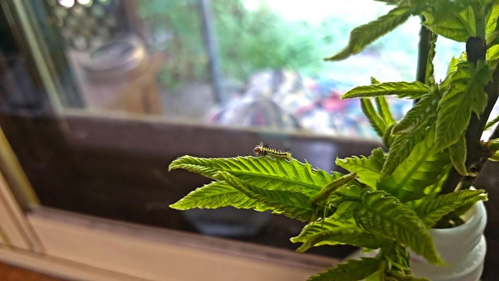 孵化したばかりの天蚕の幼虫