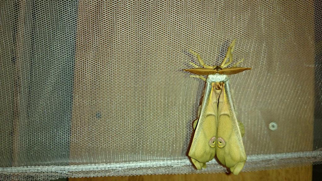 天蚕の蛾 少し羽が伸びてきたところ