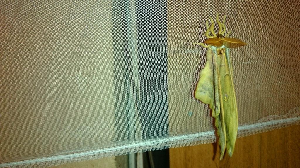 天蚕の蛾 羽化後、だいぶ羽が伸びたところ