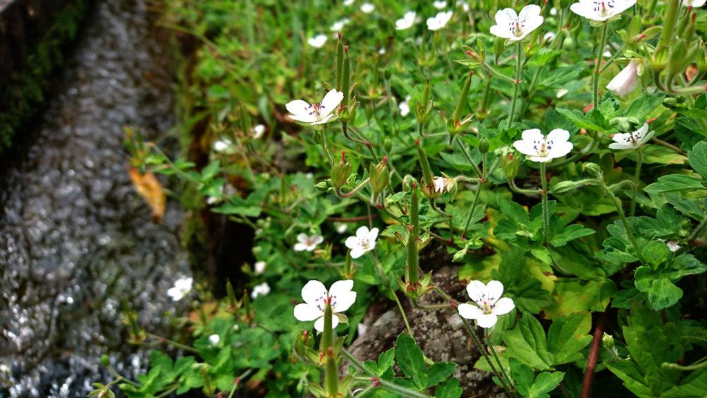 ゲンノショウコの白い花