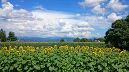後ろからのヒマワリとトウモロコシ畑