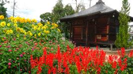 常勝寺前のサルビアと百日草と向日葵。