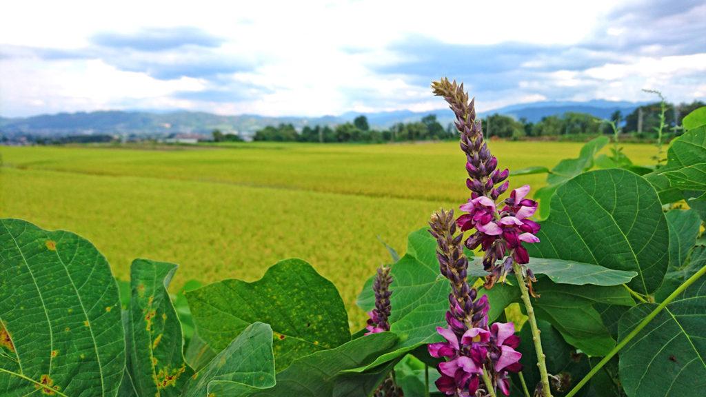 葛(クズ)の花と田んぼ