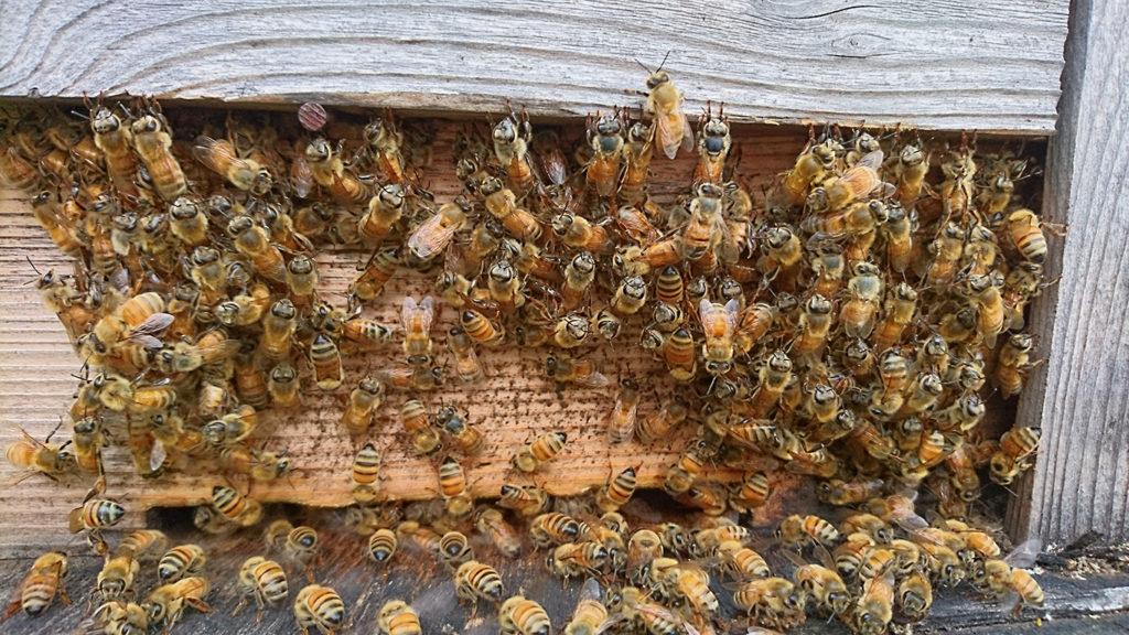 巣箱の外で涼むミツバチ
